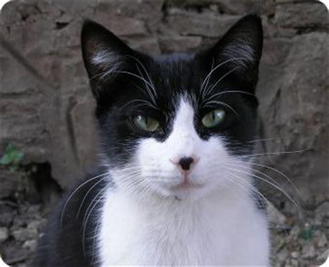 imagenes en negro de gatos fotos de gatos blanco y negro gatos dom 233 sticos gatos