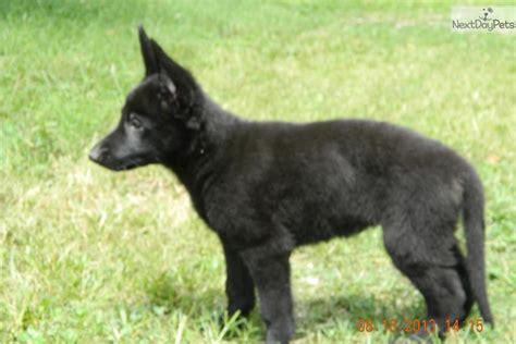 german shepherd puppies for sale in knoxville tn german shepherd puppy for sale in knoxville breeds picture