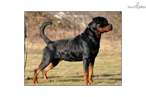 top quality rottweiler puppies german rottweiler import breeds picture