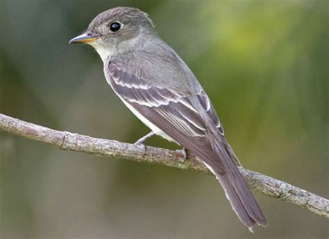 eastern wood pewee identification all about birds