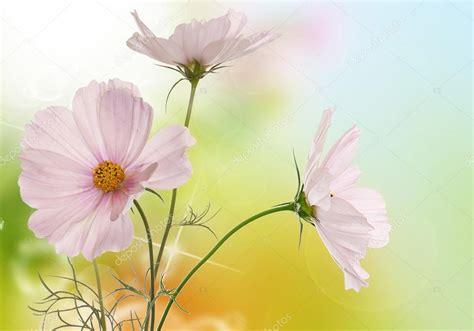 sfondi desktop fiori primavera primavera fiori rosa chiaro su sfondo bianco isolato
