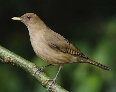 clay colored thrush clay colored thrush audubon field guide