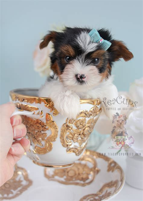 biewer yorkie puppies for sale in florida biewer terriers for sale at teacups teacups puppies boutique