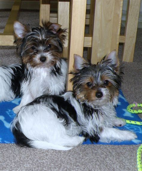 free teacup yorkies houston tx yorkie puppies terrier puppy sale houston tx yorkie breeds picture