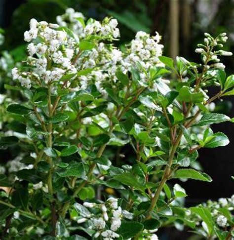 sierkers met witte bloemen with japanse struik met witte bloemen