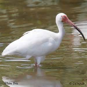 wading birds waders north american birds birds of