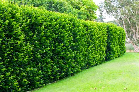 garden hedges types murraya hedge burke s backyard