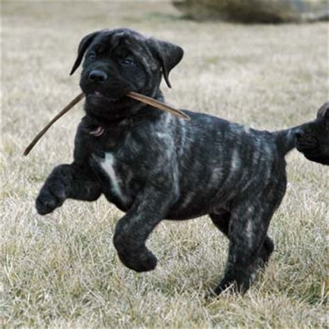 american mastiff puppies american mastiff mastiff puppies and puppys on