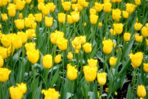 popular spring flowers top ten spring flower spots in central park central park