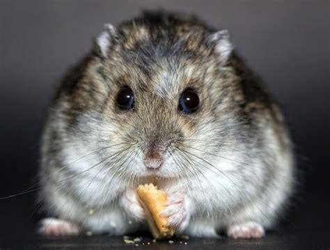 5 types of most popular hamster breeds