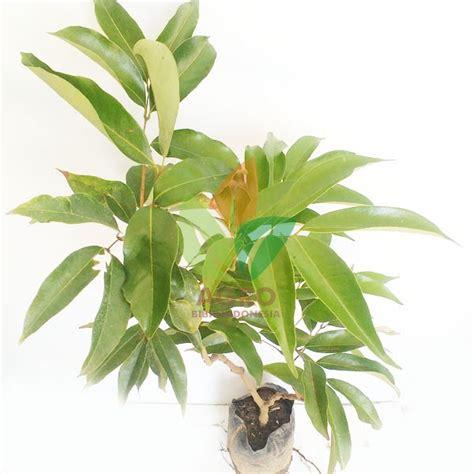 Bibit Pohon Buah Leci jual bibit leci dataran tinggi cangkok 70 cm agro bibit id