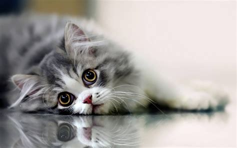 beautiful cat wallpapers hd pictures  hd wallpaper