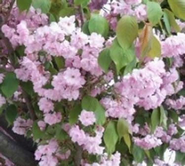 ciliegio nano in vaso piante da frutto in vaso domande e risposte giardino