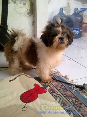 Jual Sisir Lipat Daerah Bandung dunia anjing jual anjing shih tzu jual pejantan