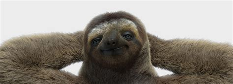 sloth on a couch image gallery sloth laying