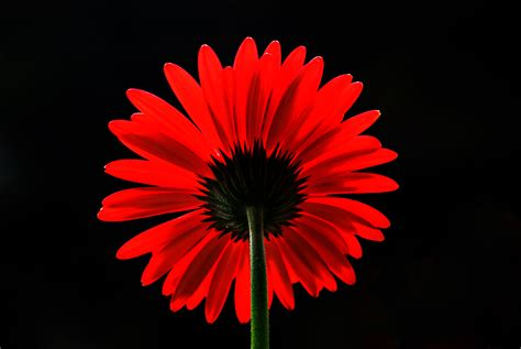 Red Mood wallpaper red daisy red gerbera daisy 4k flowers 608