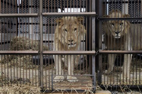 circus animal abuse  lions rescued  peru colombia headed  south africa sanctuary