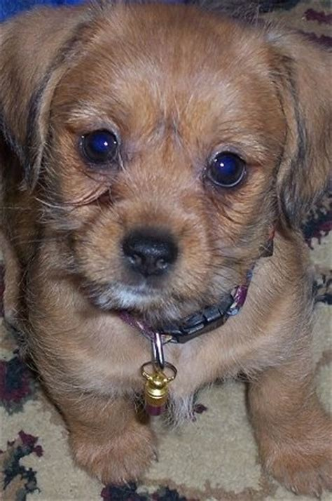 dachshund shih tzu mix schweenie breed information and pictures
