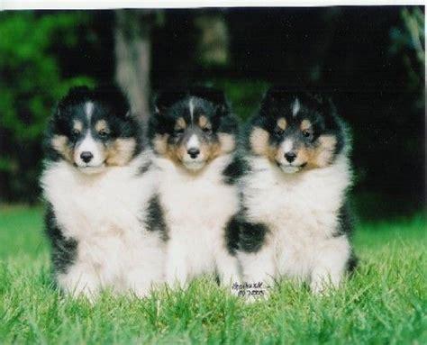 sheltie colors tri color shelties tri color and tri color puppies