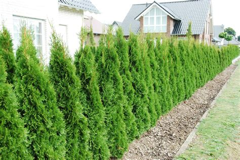 Thuja Smaragd Wachstum 3328 by Lebensbaum Smaragd