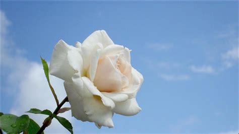 wallpaper bunga ros putih inilah 10 gambar bunga mawar yang menakjubkan pesona dunia