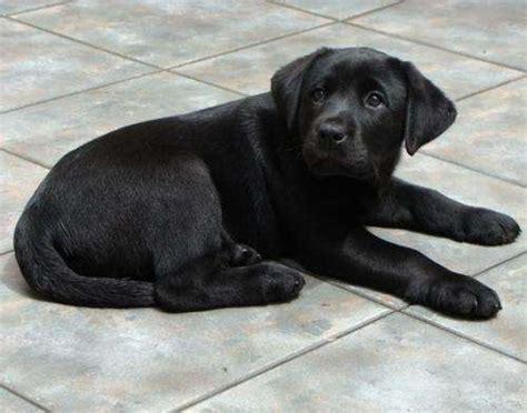 imagenes labrador negro cachorros de labrador negros imagui