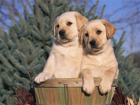 golden retriever and lab puppies golden labrador retriever puppies usa photographic print by m at