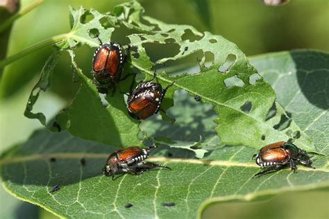 types  insect pests   garden