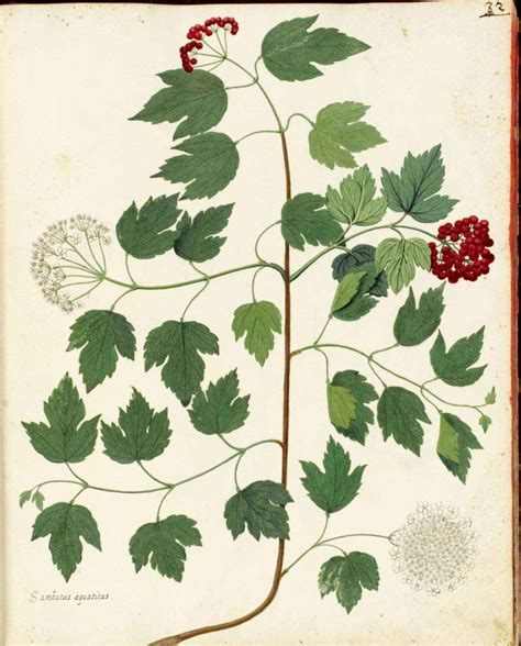 printable botanical art botanical flowering plant italian 1 vintage
