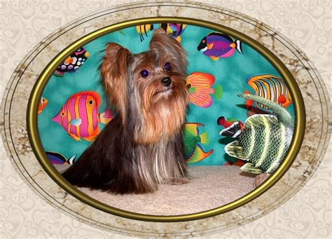 velvet touch yorkies page 9 velvet touch yorkies d o b height weight information