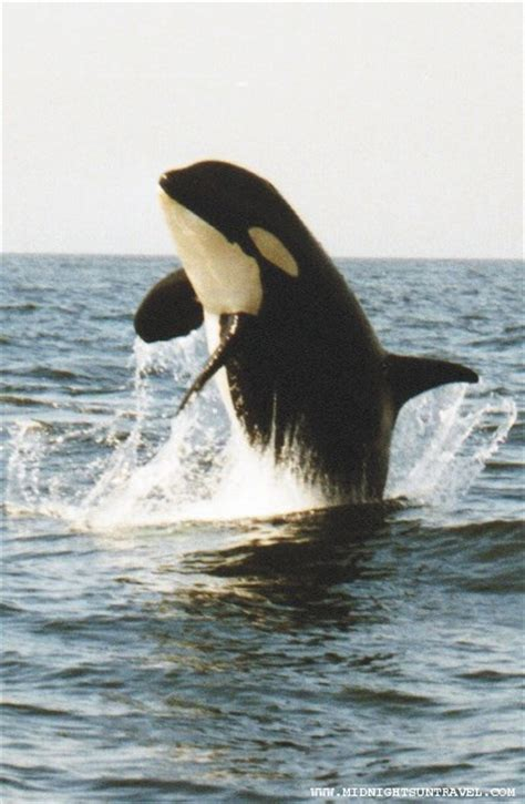 killer whale fluffy 812 best images about sea on dolphins