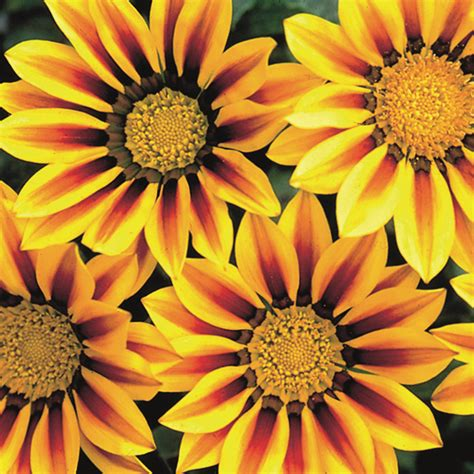Bibit Samhong King F1 New Day Seed seeds flower seeds a leading supplier of