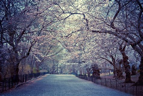 cherry blossoms spring central park new york city