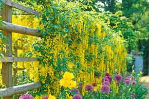 climbing plants for fence how to grow climbers australian handyman magazine