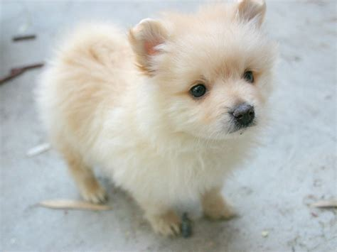 pictures of baby pomeranians pomeranian lovely baby wallpapers pomeranian wallpapers pictures free