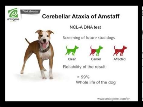 ataxia in dogs cerebellar ataxia of american staffordshire terrier amstaff antagene