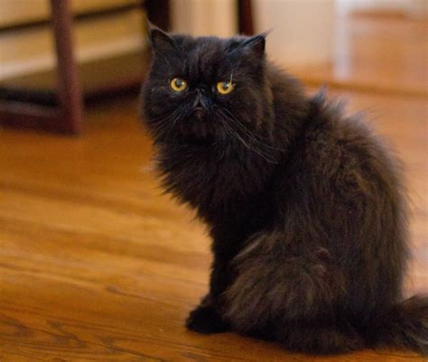 how to certify a therapy how to get your cat certified as a therapy cat catster