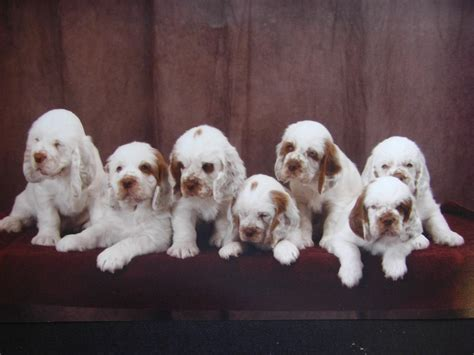 clumber spaniel puppies clumber spaniel breeders profiles and pictures breeders profiles and pictures