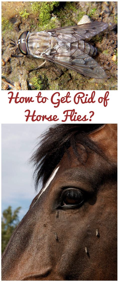 how to get rid of flies in the house how to get rid of horse flies easy tips to get rid of horse fly menace
