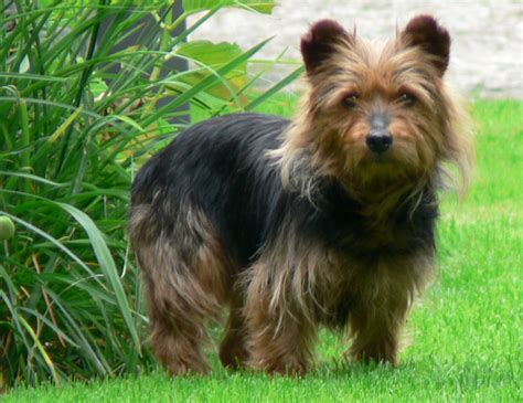 australian terrier puppies australian terrier puppies rescue pictures information temperament