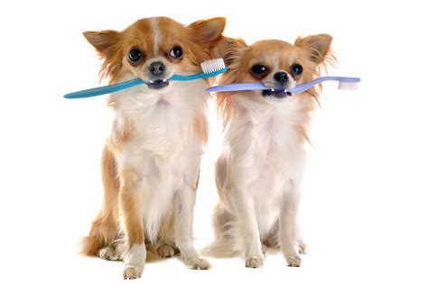 is a dogs clean teeth cleaning dental cleaning services serving marietta ga