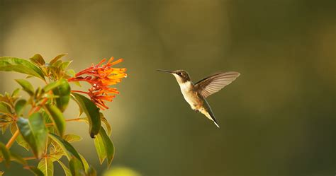 nature season 35 super hummingbirds press release