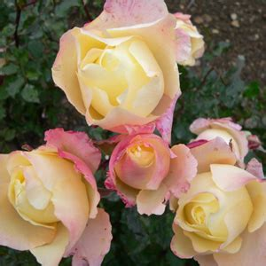 rosa mistica fiore nino sanremo catalogo shop rosa rosa mystica