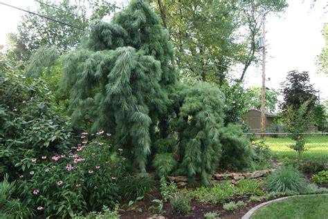 weeping white pine jpg 968 215 648 plant wishlist pinterest plants and gardens