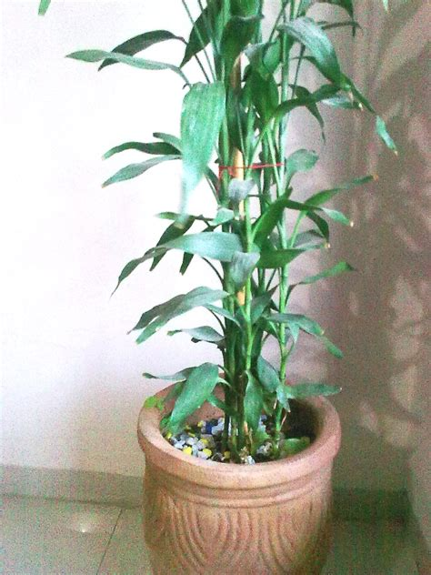 feng shui bamboo plant in bedroom feng shui simple cures may 2013