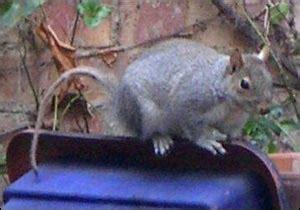 hair loss in squirrels blogotional 01 08 2006 01 15 2006
