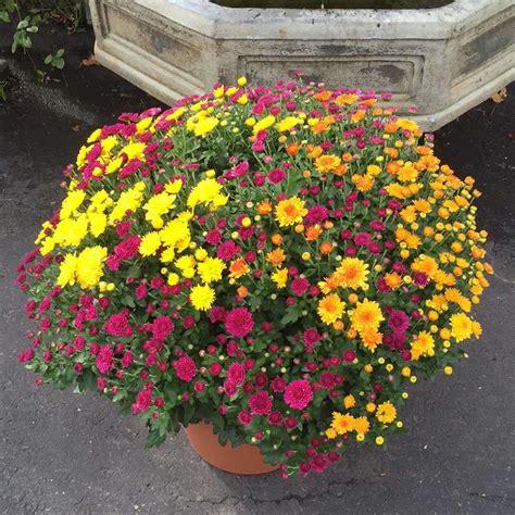 Garden Mums by Garden Patio Pot Kremp