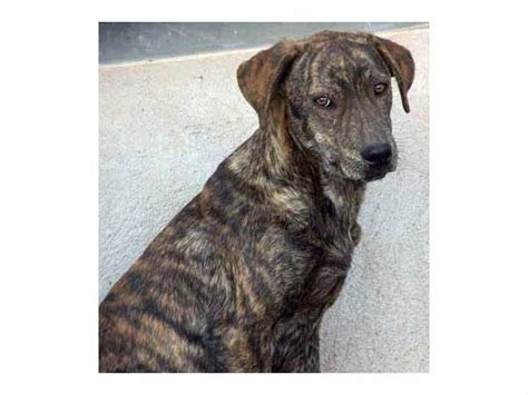 mountain cur mountain cur detailed information pictures and more