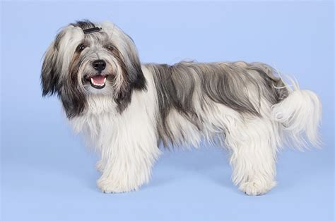 brindle havanese pictures photo collection blue brindle havanese dogs