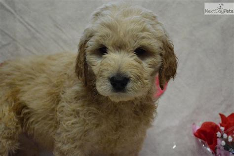 goldendoodle puppy forum goldendoodle for sale for 1 000 near kentucky
